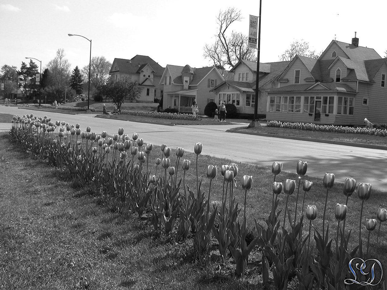 Tulipan festival Pella Iowa sort & hvid