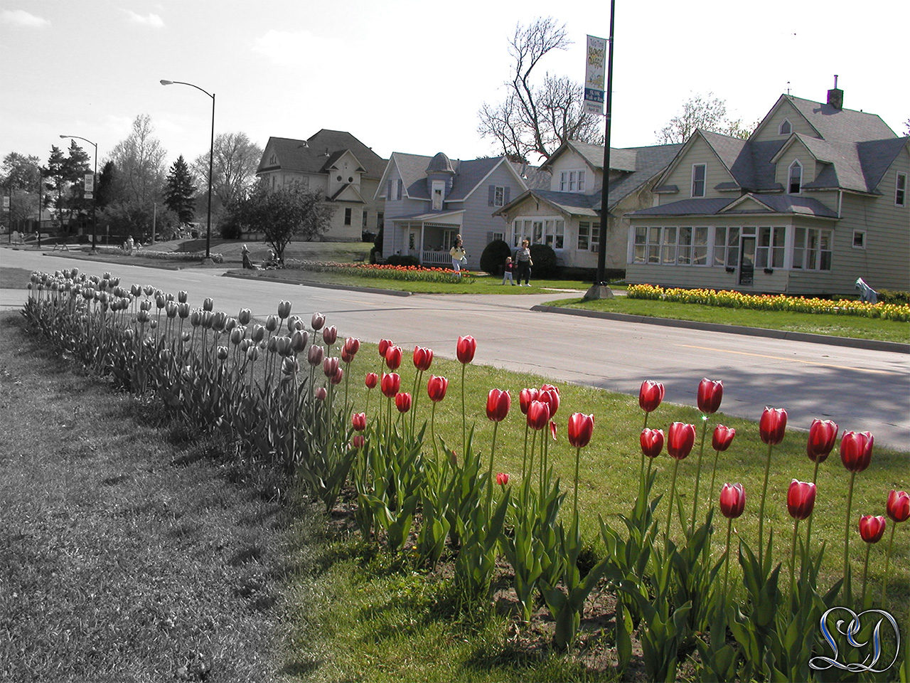 Tulipan festival Pella Iowa Gradient elegant fra sorthvid til farve